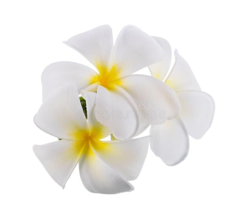 Plumeria clipping path on white background. Frangipani royalty free stock photography