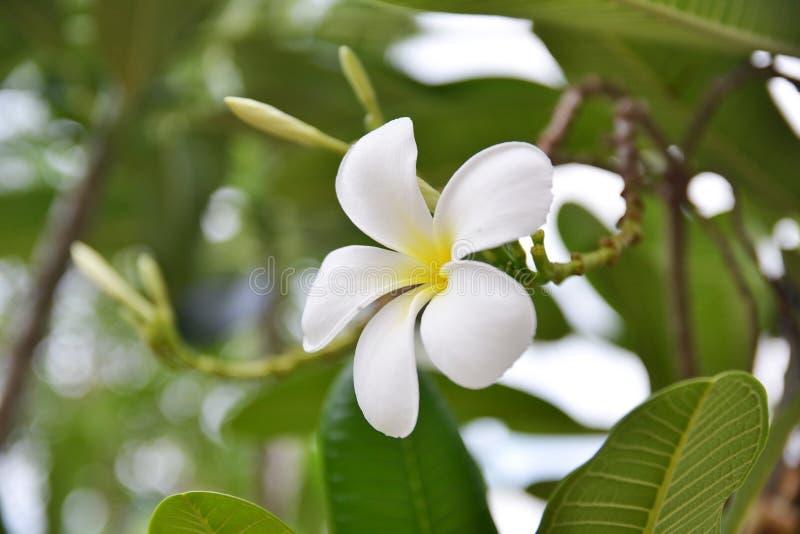 closeup of plumeria flower stock image