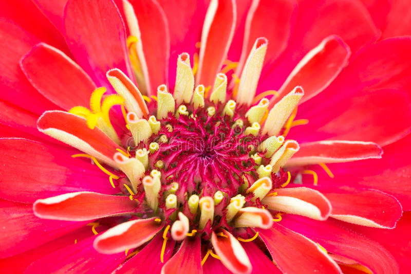 Closeup pollen of red flower,Zinnia. In the garden royalty free stock images