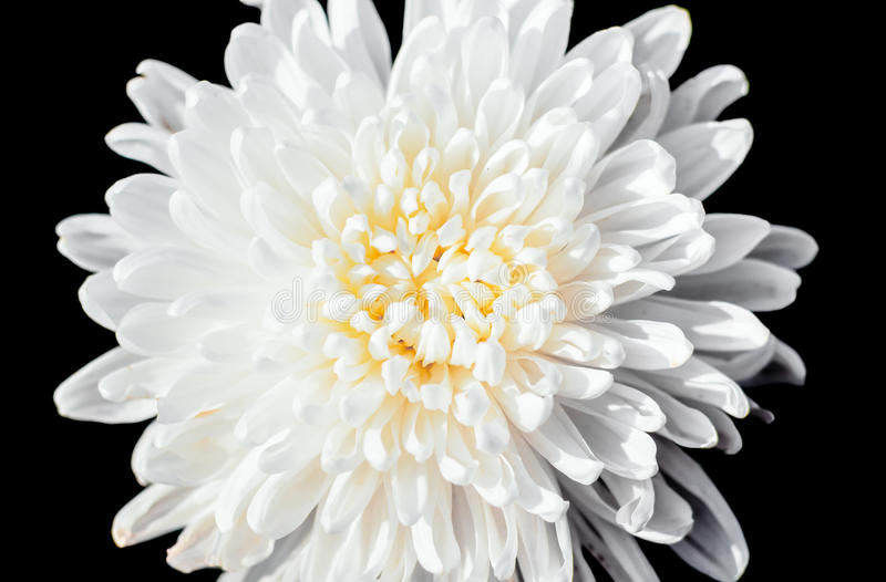 closeup a pollen of white chrysanthemum black isolated background stock image