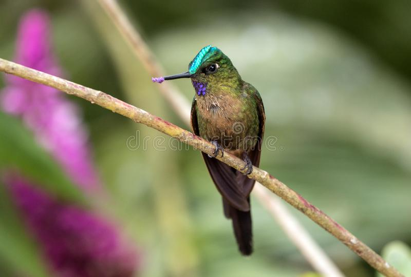 Closeup of a pollinating Violet-tailed Sylph hummingbird,Ecuador. Portrait of an exotic,small hummingbird with orchid flowers on her beak  perching on a branch stock photo