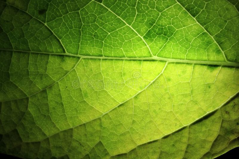 Closeup of portion of green netted veins leaf royalty free stock photography