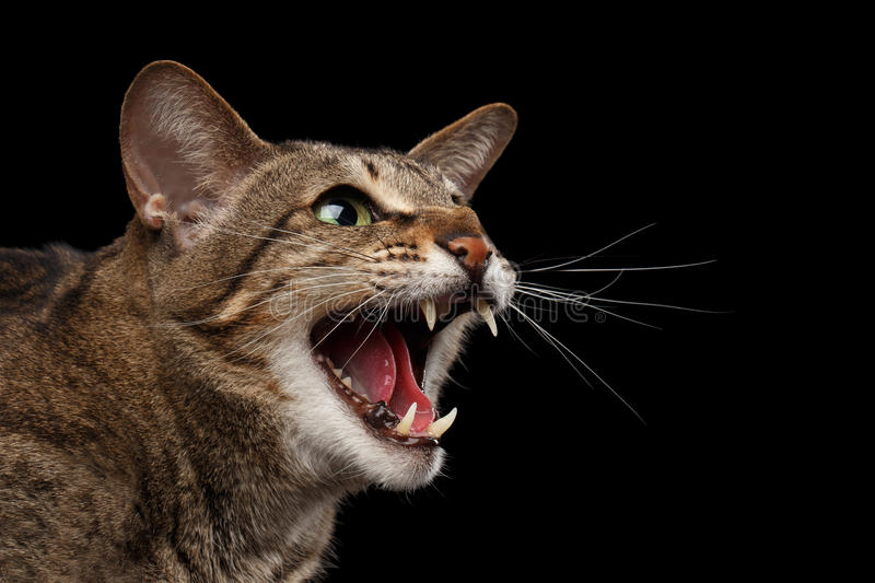 Closeup portrait Aggressive Oriental Cat Hisses in Profile, Black Isolated stock photos