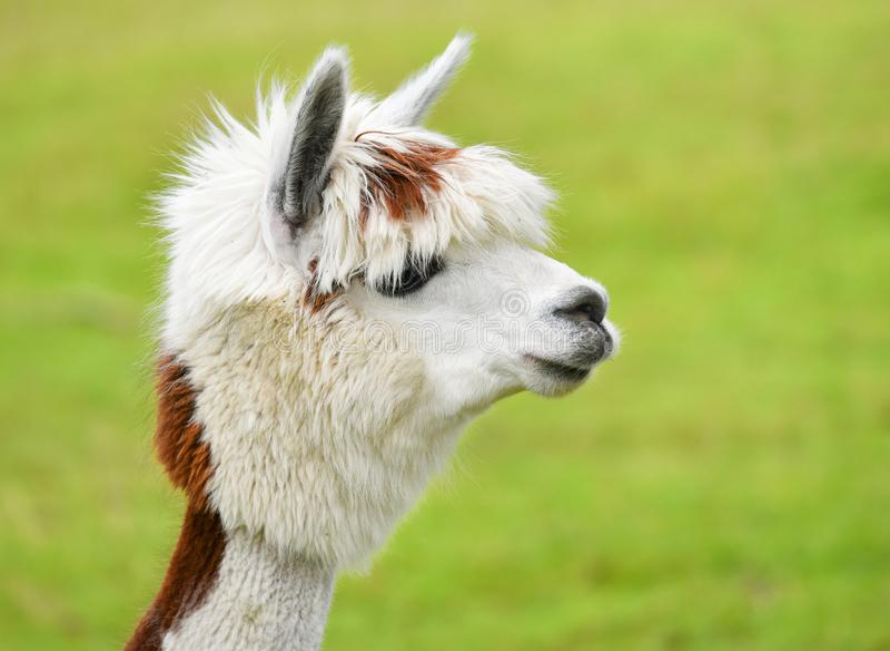 Alpaca portrait. Closeup portrait of alpaca over green grass background stock photos