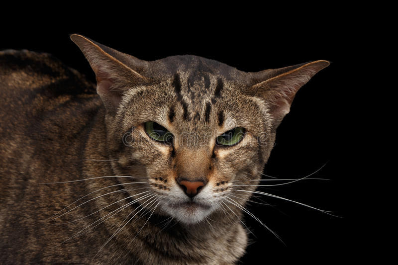 Closeup portrait Angry Oriental Cat Looking in Camera Black Isolated royalty free stock photo