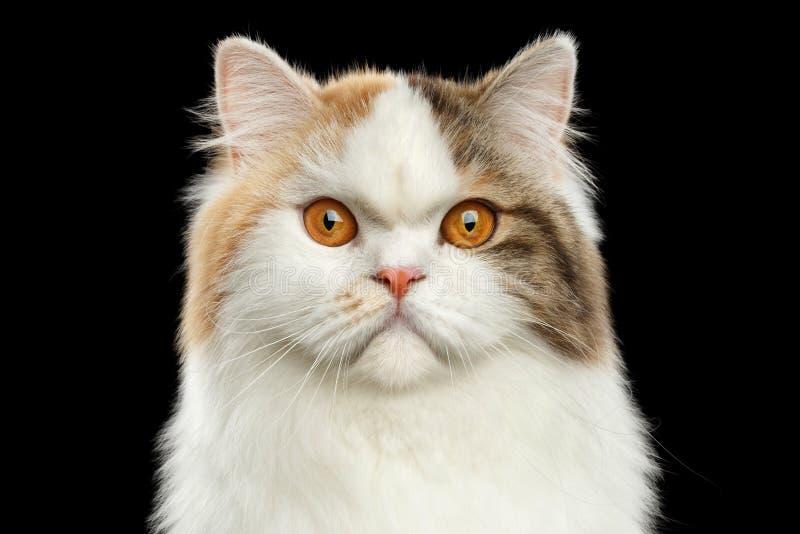 Closeup Portrait Angry Scottish Highland Straight Cat, Isolated Black Background royalty free stock photo