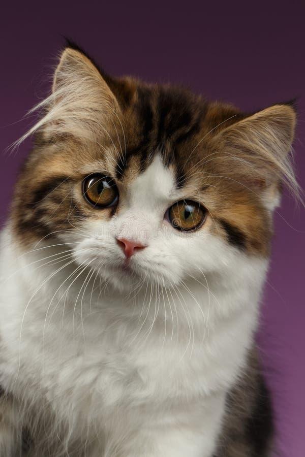 Closeup Portrait Angry Scottish straight Kitten on Purple stock photo
