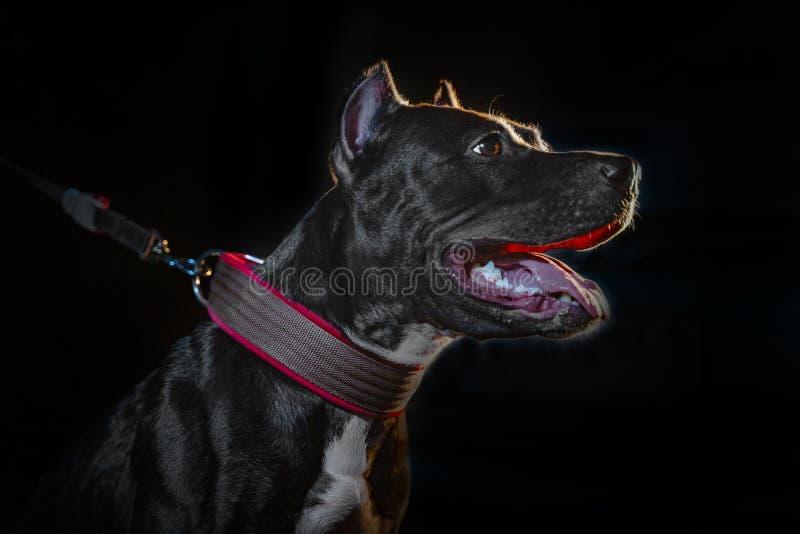 Closeup portrait of beautiful black pitbull dog  on black backgroun.  royalty free stock images