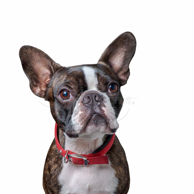 Portrait boston terrier pure breed soft grey background closeup stock photo