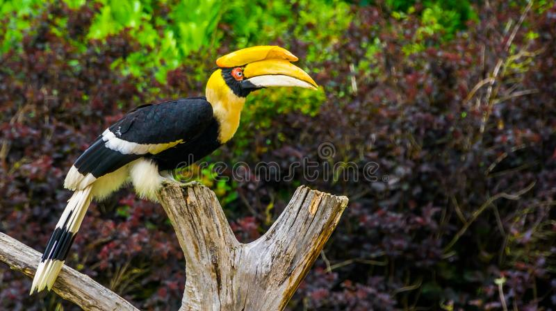 Closeup portrait of a beautiful great indian hornbill, colorful tropical bird, Vulnerable animal specie from Asia. A closeup portrait of a beautiful great indian royalty free stock images