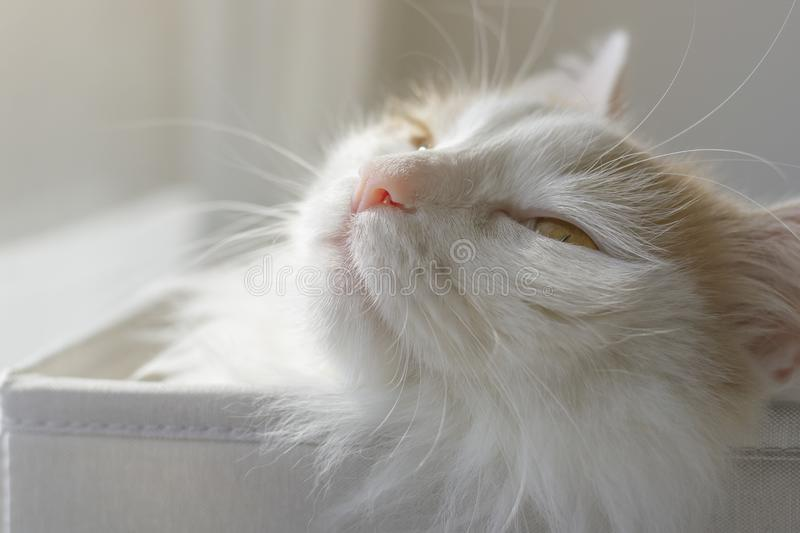 Closeup portrait of a beautiful white beige cat. Squinting in the sun with pleasure.  royalty free stock photo
