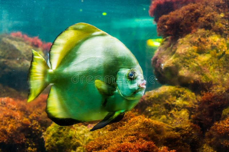 Closeup portrait of a big striped angelfish, popular tropical aquarium pet, Tropical fish specie. A closeup portrait of a big striped angelfish, popular tropical royalty free stock photo