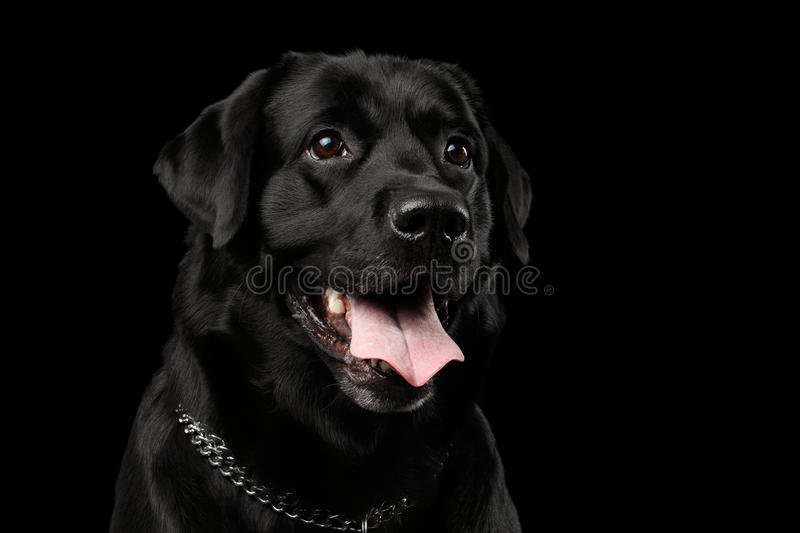 Closeup Portrait black Labrador Dog, Kind Looking, Front view, Isolated royalty free stock image