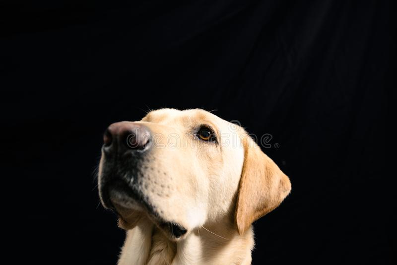 Closeup Portrait of blond labrador on black background stock photography