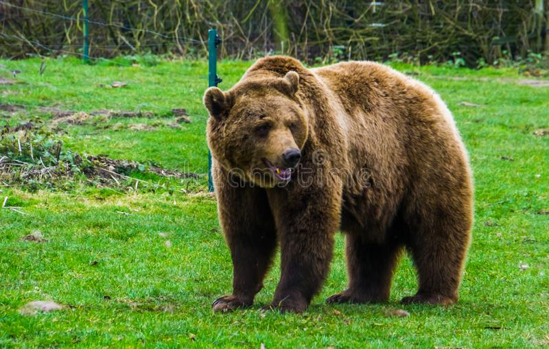 Closeup portrait of a brown bear standing in the grass, common animal in Eurasia and north America, Popular zoo animals. A closeup portrait of a brown bear royalty free stock image