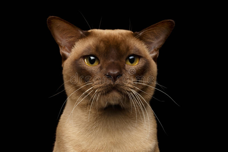 Closeup Portrait Burma Cat with Gaze Looking in Camera on Black. Background stock photo