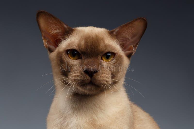 Closeup portrait of Burma Cat on Gray. Background royalty free stock image