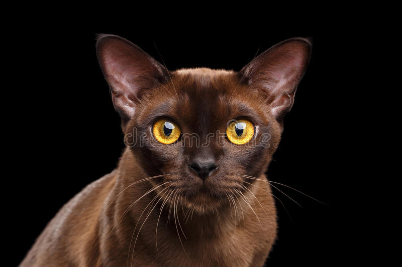Closeup Portrait Burmese Cat Curious Looking in Camera black Isolated. Closeup Portrait of Burmese Cat Curious Looking in Camera Isolated on black background royalty free stock photo