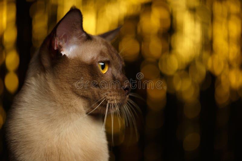 Closeup portrait Burmese Cat on happy new year background. Closeup portrait of Burmese Cat on happy new year background stock photography