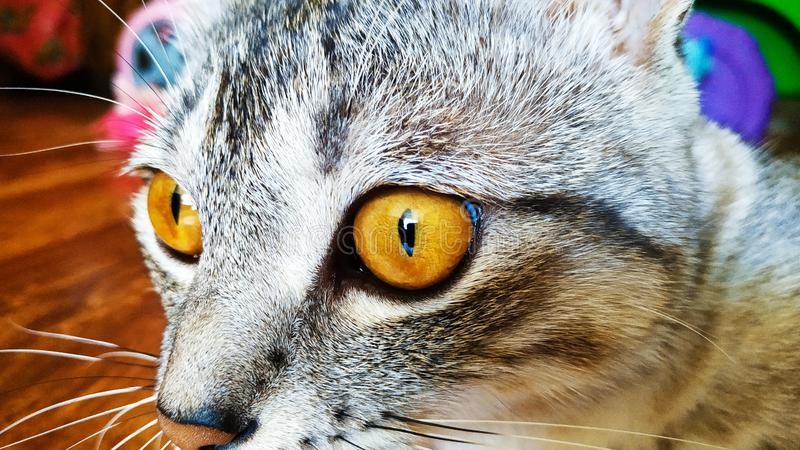 Closeup portrait of a cat with bright yellow eyes.  stock images
