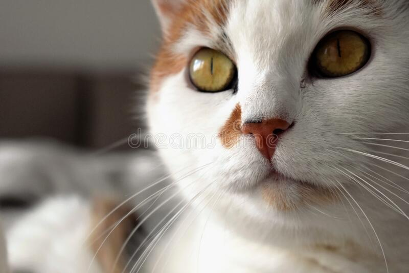 Closeup portrait of cat stock photos