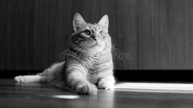 Closeup portrait of a cat lying on a wooden floor. And looking up on a blurred background. Shallow focus. Black and white. Copyspace, domestic, pet, muzzle stock image