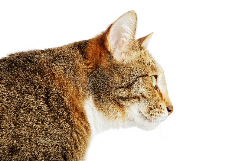 Closeup portrait of a cat in profile. Isolated on white stock image