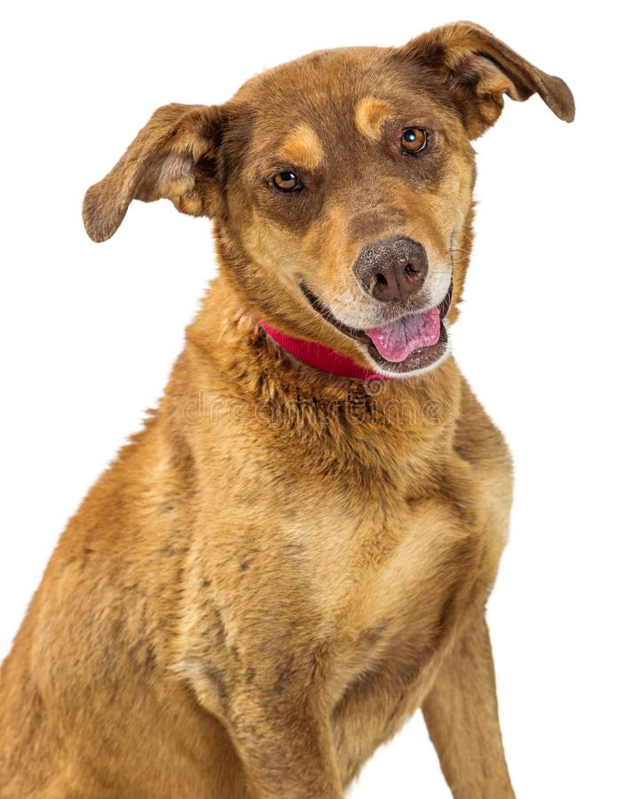 Head Shot Cute Shepherd Crossbreed Dog. Closeup portrait of a cute mixed breed brown Shepherd dog with happy expression royalty free stock image