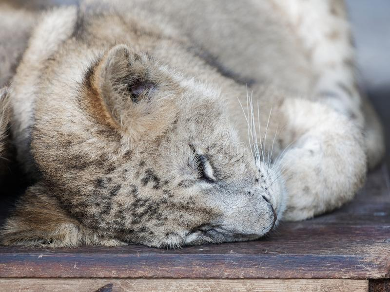 Closeup portrait of cute sleppy lion cub.  royalty free stock photography