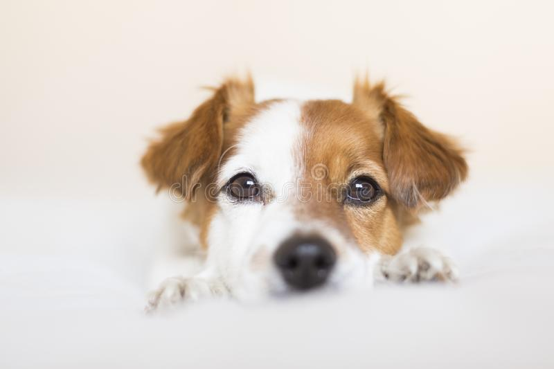 closeup portrait of a cute small dog sitting on bed and looking curious to the camera. Pets indoors stock photo