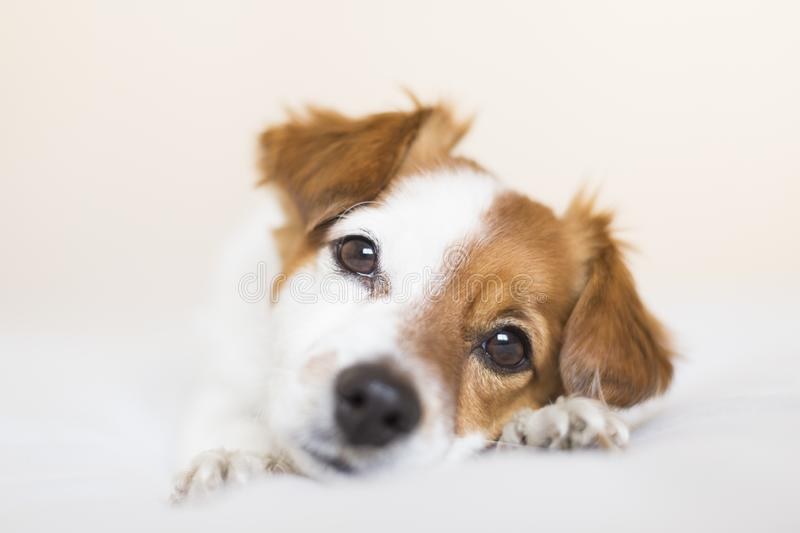 closeup portrait of a cute small dog sitting on bed and looking curious to the camera. Pets indoors stock image