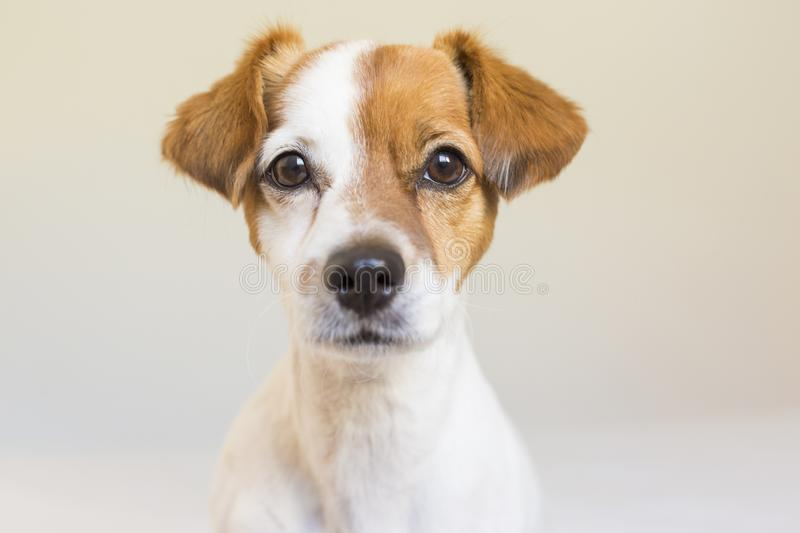 Closeup portrait of a cute small dog standing on bed and looking curious to the camera. Pets indoors stock image