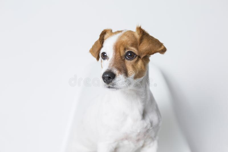 Closeup Portrait of a cute young small dog sitting on a white chair. white background. Pets indoors stock photos