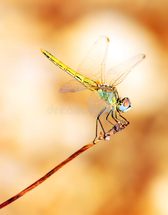 Closeup portrait of dragonfly stock photo
