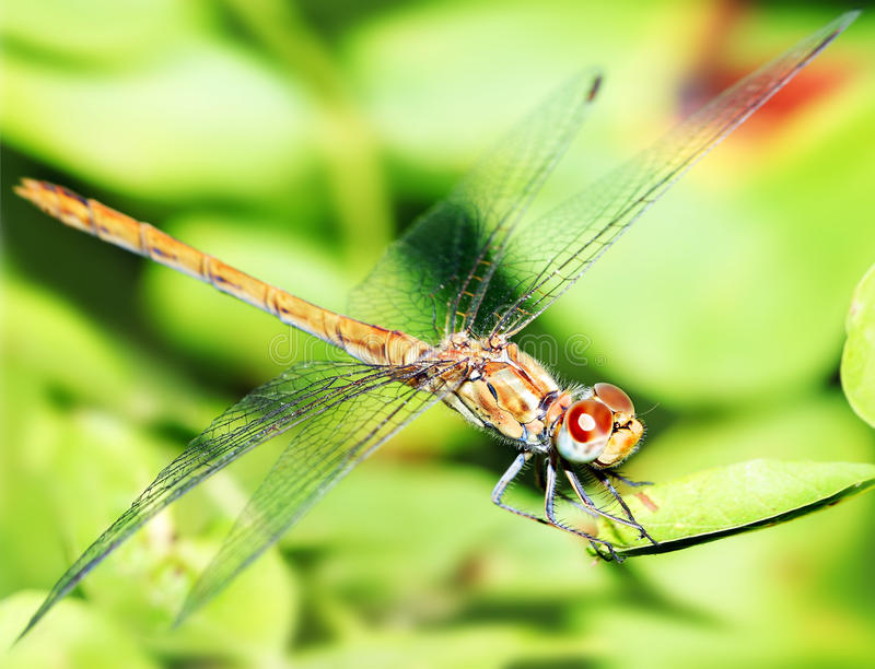 Closeup portrait of dragonfly stock photos