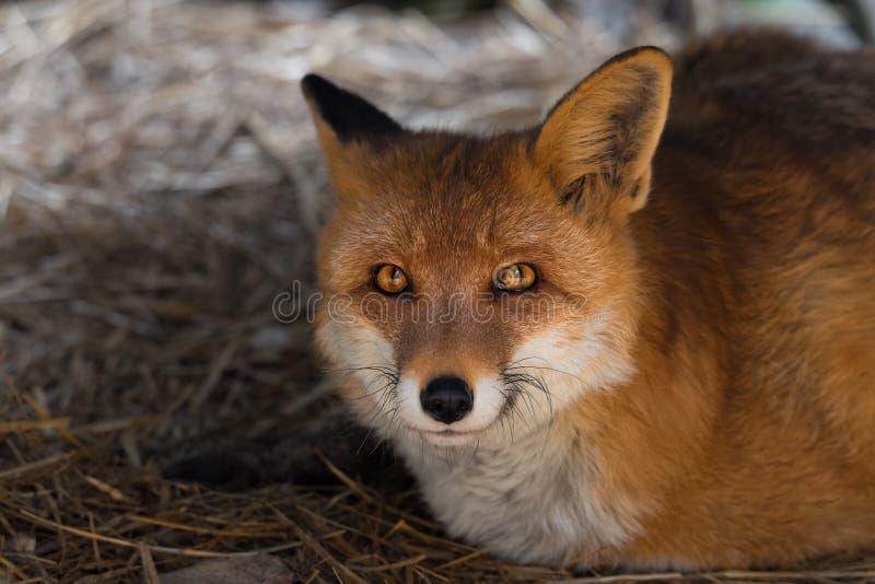 European red fox vulpes vulpes closeup portrait, wildlife royalty free stock photography