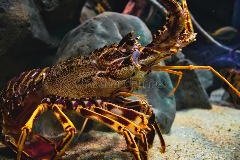 Closeup portrait of a European spiny lobster in a tank stock image