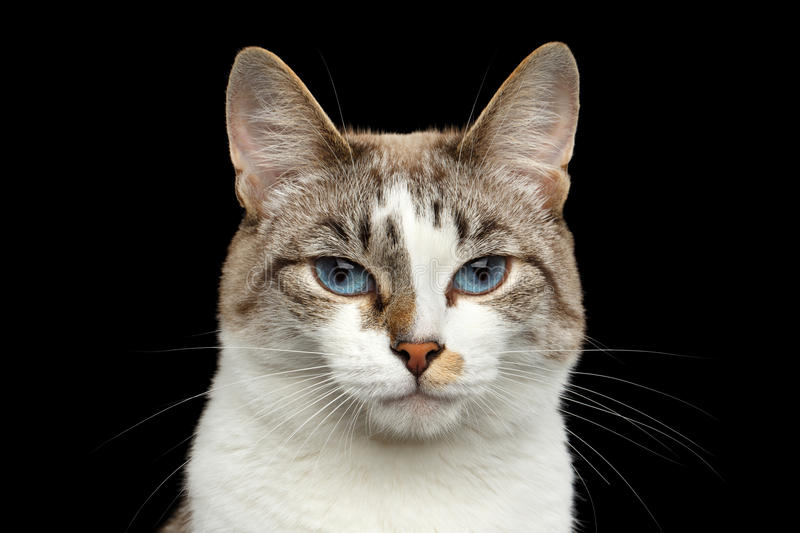 Closeup Portrait of face White Cat, Blue Eyes Isolated Black Background stock photo