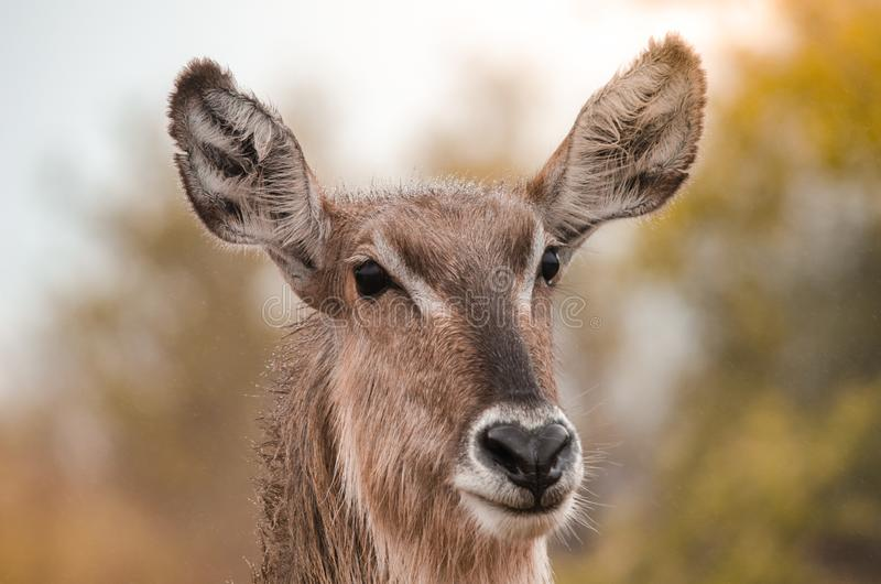 A closeup portrait of a female waterbuck kobus ellipsiprymnus, South Africa royalty free stock photography