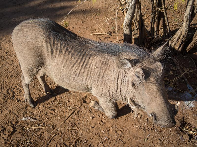 Closeup portrait of friendly warthog kneeling on sandy ground near Chobe National Park, Botswana, Africa stock images
