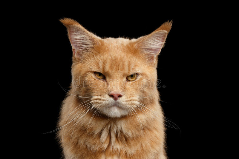 Closeup portrait Ginger Maine Coon Cat Isolated on Black Background stock photos
