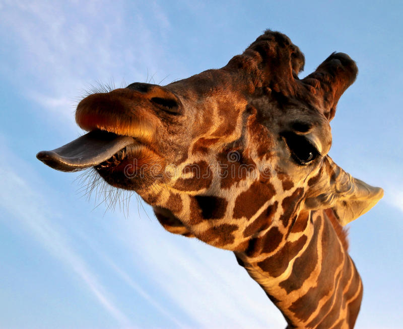 Closeup portrait of Giraffe stock photo