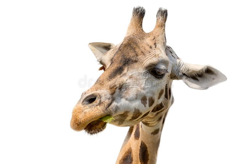 Closeup portrait of a giraffe head Giraffa Camelopardalis eating leaf isolated on white background royalty free stock image