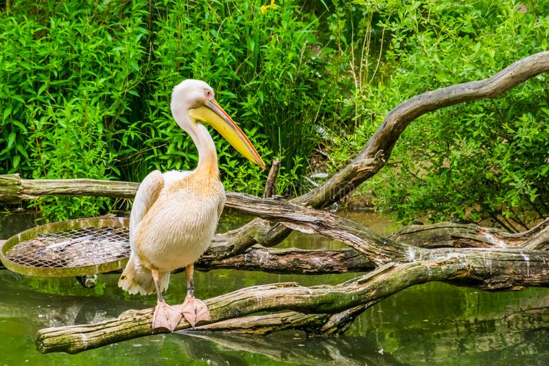 Closeup portrait of a great white pelican standing on a branch above the lake, common water birds from Eurasia. A closeup portrait of a great white pelican stock photos