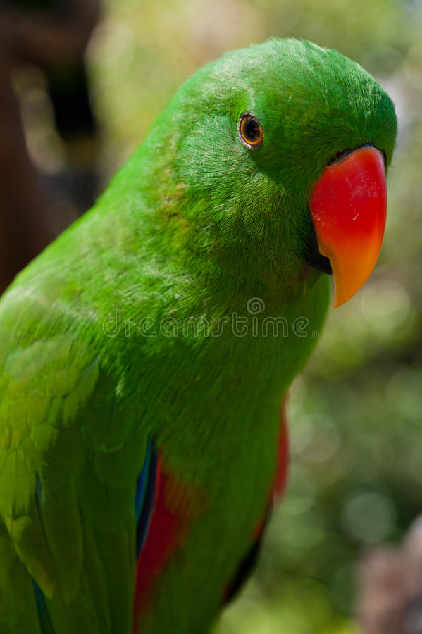 Closeup portrait of green parrot royalty free stock photo