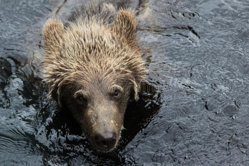 Closeup portrait of the head adult brown bear swimming in the dark water and looking at you. Ursus arctos beringianus royalty free stock photo