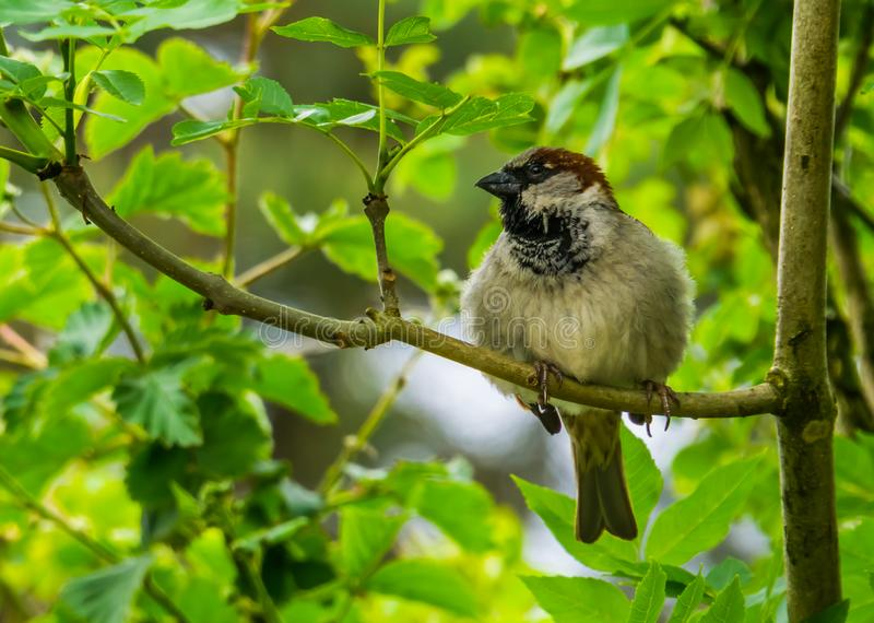 Closeup portrait of a house sparrow sitting on a tree branch, common bird specie from Eurasia, nature background. A closeup portrait of a house sparrow sitting royalty free stock photo