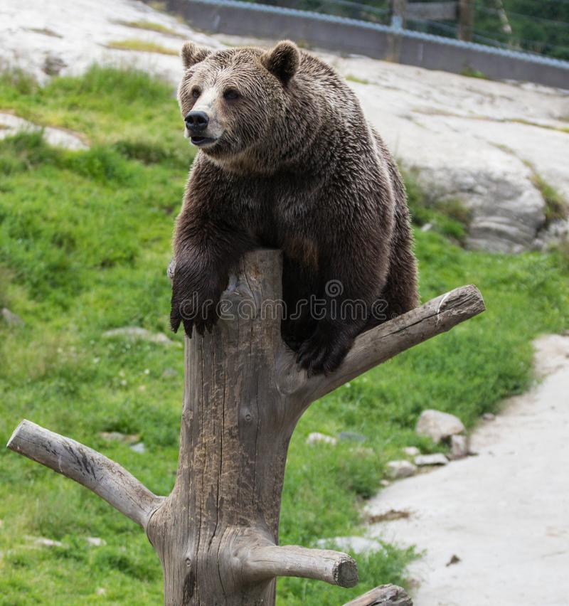 Closeup portrait of huge adult brown bear climbing on the tree trunk. Ursus arctos beringianus. Kamchatka bear. Closeup portrait of huge adult brown bear royalty free stock images