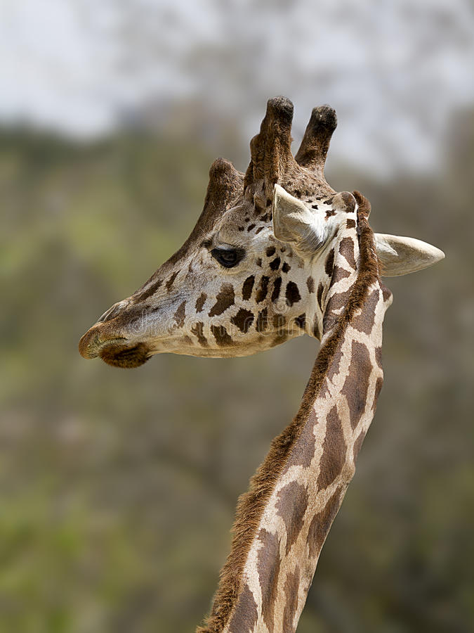 Closeup portrait of maasai giraffe stock image