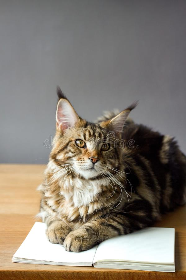 Close-up portrait of Maine Coon cat sitting on a wooden table and reading a book, selective focus, copyspace. Closeup portrait of Maine Coon cat sitting on a stock images